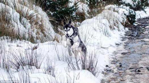 Husky in Wales (yesterday)