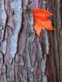 Textures - Maple Leaf and Cedar Bark
