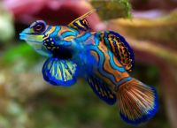 Blue Mandarin Fish