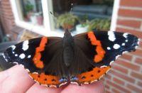 Red Admiral -- Atalanta  Buttefly close up