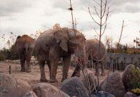 Elephants Toronto Zoo