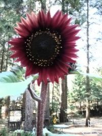 WOW, what a Sunflower!