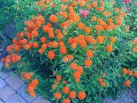 Orange-Butterfly-Plant-Kentucky