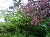 Flowering Crabapple and Vibernam