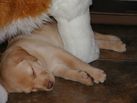 Baby Lab finds Mommie (Mommie is a stuffed toy).