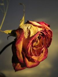 A Dried Rose