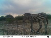 Zebra in Texas