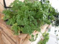 The parsley, in the plant-box on the gallery, doesn't mind the winter weather.....
