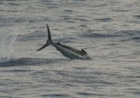 Kona, HI Blue Marlin