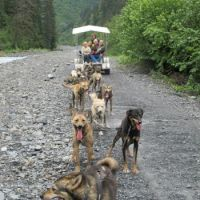 Sled dogs exercising in summer