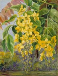 Marianne North (British painter) 1830 - 1890 Foliage and Flowers and a Pod of the Amaltas or Indian Laburnum, 1870s