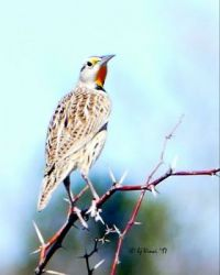 Eastern Meadowlark in Arizona