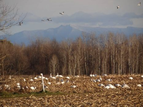 snow geese in NY Mt Mansfield in VT