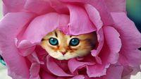Kitten Rose