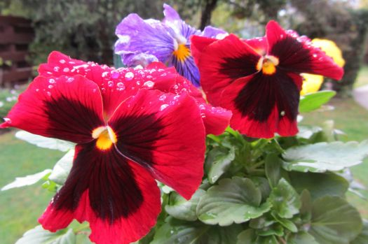 Pansies after the rain.