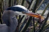 16 03 14 Slim 2 - Heron with Bug - IMG_0161