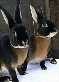 ~Black Otter Rex rabbits..🐰🐇~