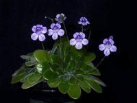 Primulina petrocosmeoides