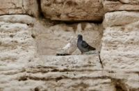 Black and White doves in a nook in the Western Wall