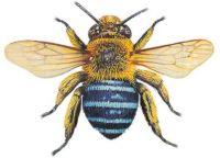 Blue Banded Bee illustration