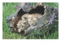Theme: Safari/Wild Animals - Canada Lynx Kittens