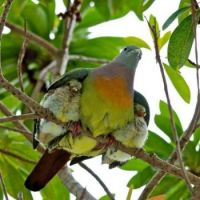 Very Protective Fruit Dove