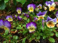 pansies, rain--medium