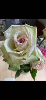 Amazing White, Pink, Green Rose