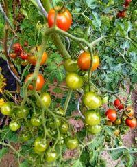 Rajčatům se daří