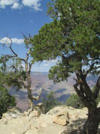 Trees at Grand Canyon, Arizona