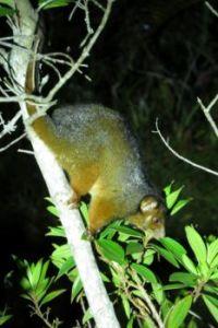 Ring-tailed Possum...