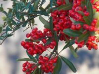 Lovely red pyracantha.