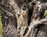 Owls are pretty easy to spot