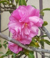Sasanqua Camellia Blossoms on Sticks