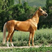 Akhal-Teke stallion Palvan by Saks Stable