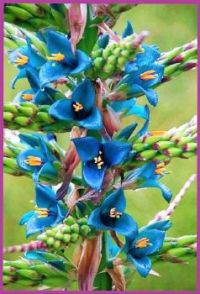"THEME ~ Flowers/Trees  ... Puya berteroniana ""Turquoise Puya""... THANKS for the info, ebkrueg"