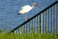 Beautiful Ibis