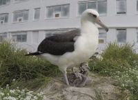 Wisdom, albatross at least 68 yrs old and has raised over 31 chicks.   Bob Peyton