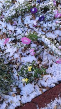 Snow on petunias and snapdragons October 2020