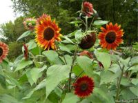Red and Orange Sunflowers