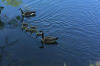 pigeon forge geese 3