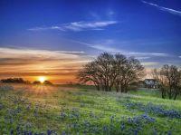 Texas Bluebonnets - Round Top, Texas
