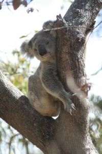 Koala on Magnetic Island, Australia