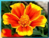 Yellow edged Marigold