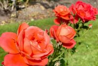 A row of roses
