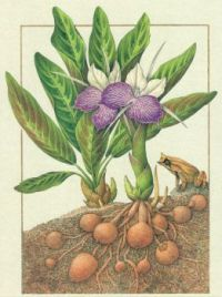 Cyornis Rubeculoides