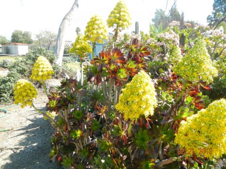 . . . and the Aeonium agrees.