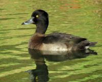 female tufted duck (kuifeend vrouwtje)