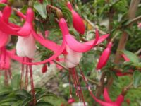 """Fuchsia """"Dancing Fairies""""  and buds close(r) up"""
