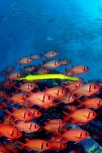 School of Bigscale soldierfish with a yellow Chinese trumpetfish tagging along to better hunt for its prey.